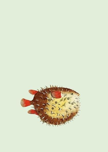Poster Kugelfisch